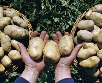 Лунный посевной календарь на 2018 год: когда сажать картофель