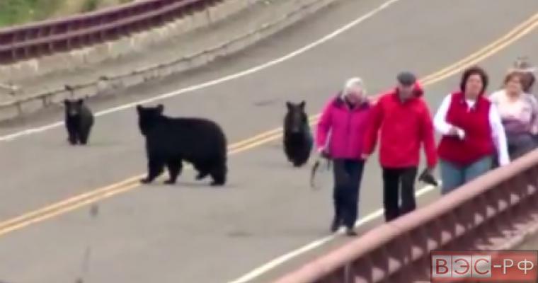 медведи пугают туристов