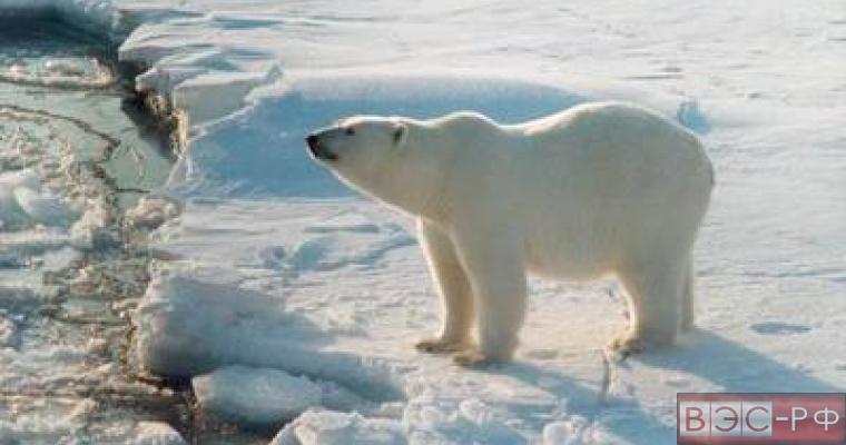 Белая медведица