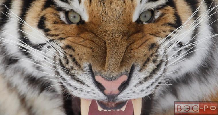Амурский тигр атаковал охотника