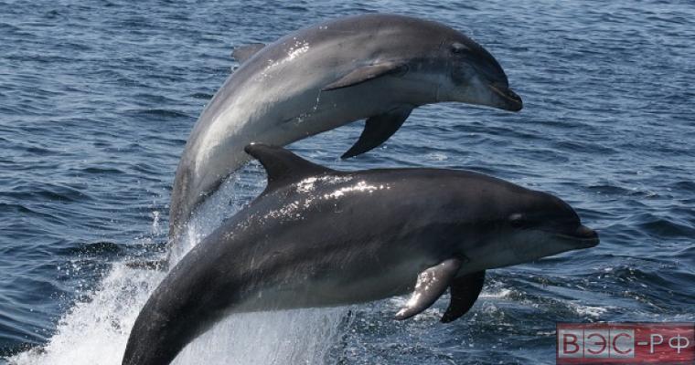 Боевые дельфины поступят на вооружение российской армии