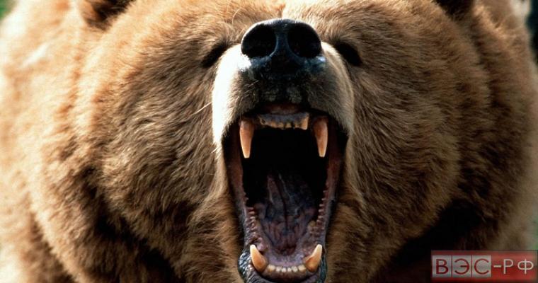 найден медведь редкого окраса